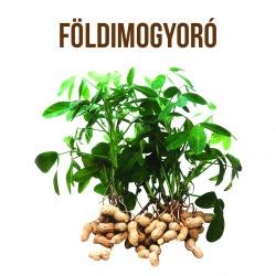 Földimogyoró, a megunhatatlan csemge - ajándék növény fa kaspóval