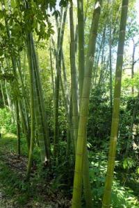 Moso bambusz kifejlett mérete